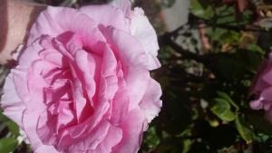 20170220_132441-lyons-st-pink-rose