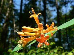 coral-honeysuckle-lonicera_ciliosa_13330