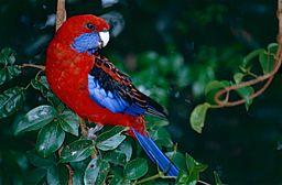 crimson_rosella_platycercus_elegans_10244627086